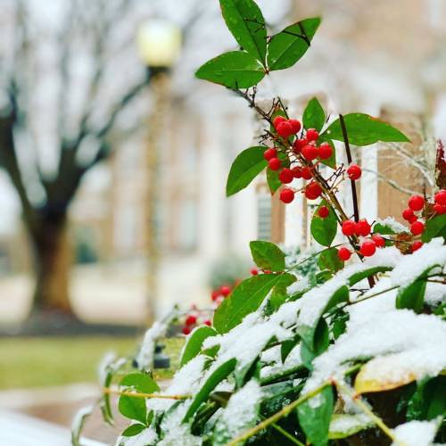 Snow on holly with red berries