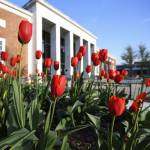 Red tulips bloom in front of a campus building